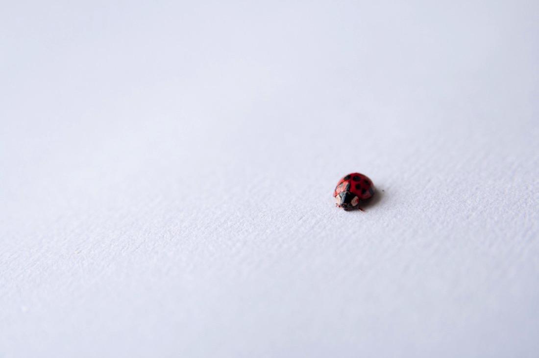 Ladybug insect bug ladybird beetle red black